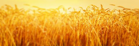 Ripe ears of wheat in field during harvest close up. Agriculture summer landscape. Rural scene. Panoramic image.  stock photos