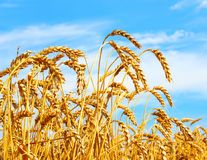 Ripe ears of wheat in field during harvest. Rural agriculture concept.  stock photography