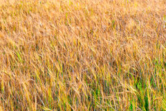 Ripe ears of wheat in field in late summer Stock Photography