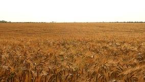 Ripe ears of wheat swaying in the field. Ripe ears of wheat in the field stock video