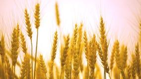 Ripe ears of wheat in field stock footage