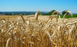 Ripe ears of wheat. Stock Photo