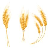 Ripe Ears wheat set. Isolated detailed template. Royalty Free Stock Photography