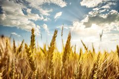 Ripe ears of wheat under the blue sky Royalty Free Stock Photography