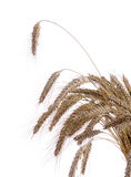 Ripe ears of wheat on a white Royalty Free Stock Photo