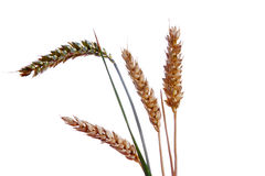 Ripe ears of wheat Royalty Free Stock Photo