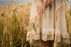 Ripe ears wheat in woman hands Royalty Free Stock Images