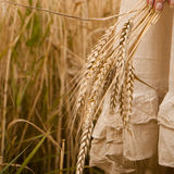 Ripe ears wheat in woman hands Royalty Free Stock Photo