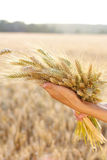 Ripe ears wheat in woman hands. Against a background of wheat field. Concept of abundance and harvest stock images
