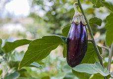 Ripe eggplant on a bed in a kitchen garden Stock Photos