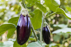 Ripe eggplant on a bed in a kitchen garden Royalty Free Stock Image