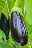Ripe eggplant in a Dutch greenhouse Stock Photography