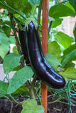 Ripe eggplants growing in the garden Royalty Free Stock Images