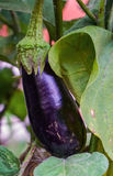 Ripe eggplants growing in the garden Stock Images