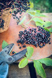 Ripe elder berries bunch on wooden table and old pruner. In garden royalty free stock photos