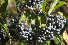 Ripe Elderberries Royalty Free Stock Image