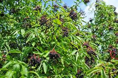 Ripe elderberry on branch Royalty Free Stock Photography