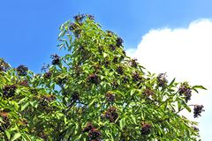 Ripe elderberry on branch Royalty Free Stock Photos