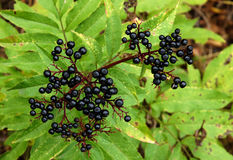 Ripe elderberry on branch Royalty Free Stock Images