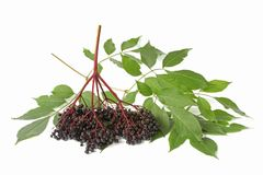 Ripe elderberry (Sambucus nigra) Stock Image