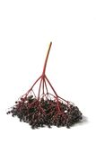 Ripe elderberry (Sambucus nigra) Stock Photos
