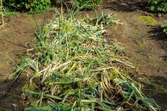 Ripe and fallen onion ready to harvesting. Bed with the fallen onions tops of vegetable. The concept of growing healthy food and royalty free stock image