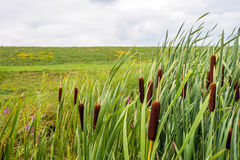 Ripe female flower spikes of bulrush plants from close Royalty Free Stock Images