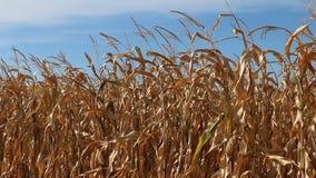 Ripe field corn rustling in the breeze. stock video