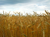 Ripe field of malting barley used in craft beer production. royalty free stock photography