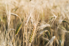 Free Ripe Fields Of Wheat At The End Of Summer At Sundawn Royalty Free Stock Photo - 57368085