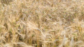 Ripe fields of wheat at the end of summer at Sundawn Royalty Free Stock Image