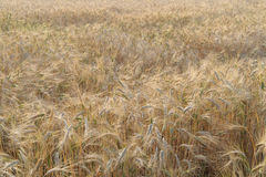 Ripe fields of wheat at the end of summer at Sundawn Royalty Free Stock Photo