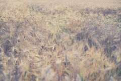 Ripe fields of wheat at the end of summer at Sundawn Stock Photography