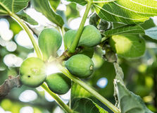 Ripe fig fruits. Stock Photography