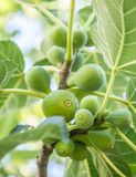 Ripe fig fruits. Ripe fig fruits on the tree royalty free stock photo