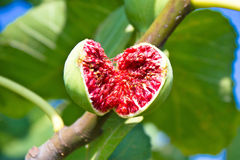 Ripe fig on the tree Royalty Free Stock Images