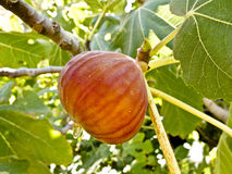 A ripe fig on a tree. A ripe fig hanging from a tree royalty free stock photography
