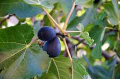 Ripe figs on a branch Royalty Free Stock Photos