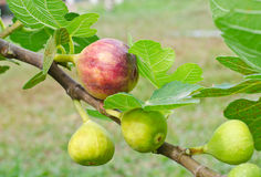 Ripe figs on the branch of a fig tree Royalty Free Stock Photography