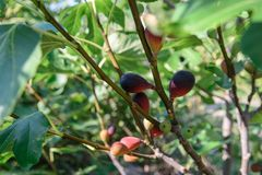 Ripe figs on the branches Stock Images