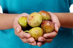Ripe figs in woman hands. Group of ripe fresh  figs in woman hands Royalty Free Stock Photo