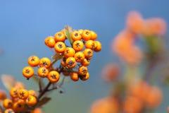 Ripe Firethorn Berries Stock Photography