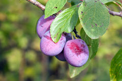 Ripe fleshy plums Royalty Free Stock Photography