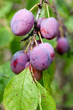 Ripe fleshy plums. On the branch Royalty Free Stock Photos