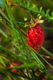 Ripe forest wild strawberry Royalty Free Stock Photo