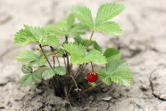 Ripe fragaria on the bush in the ground Stock Photo