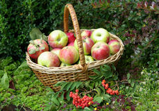 Ripe fresh apples in the basket Stock Photo