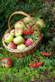 Ripe fresh apples in the basket Stock Image
