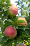 Ripe fresh apples on the tree Royalty Free Stock Photos