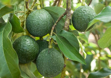 Ripe   fresh avocados with leaves growing on tree Royalty Free Stock Image